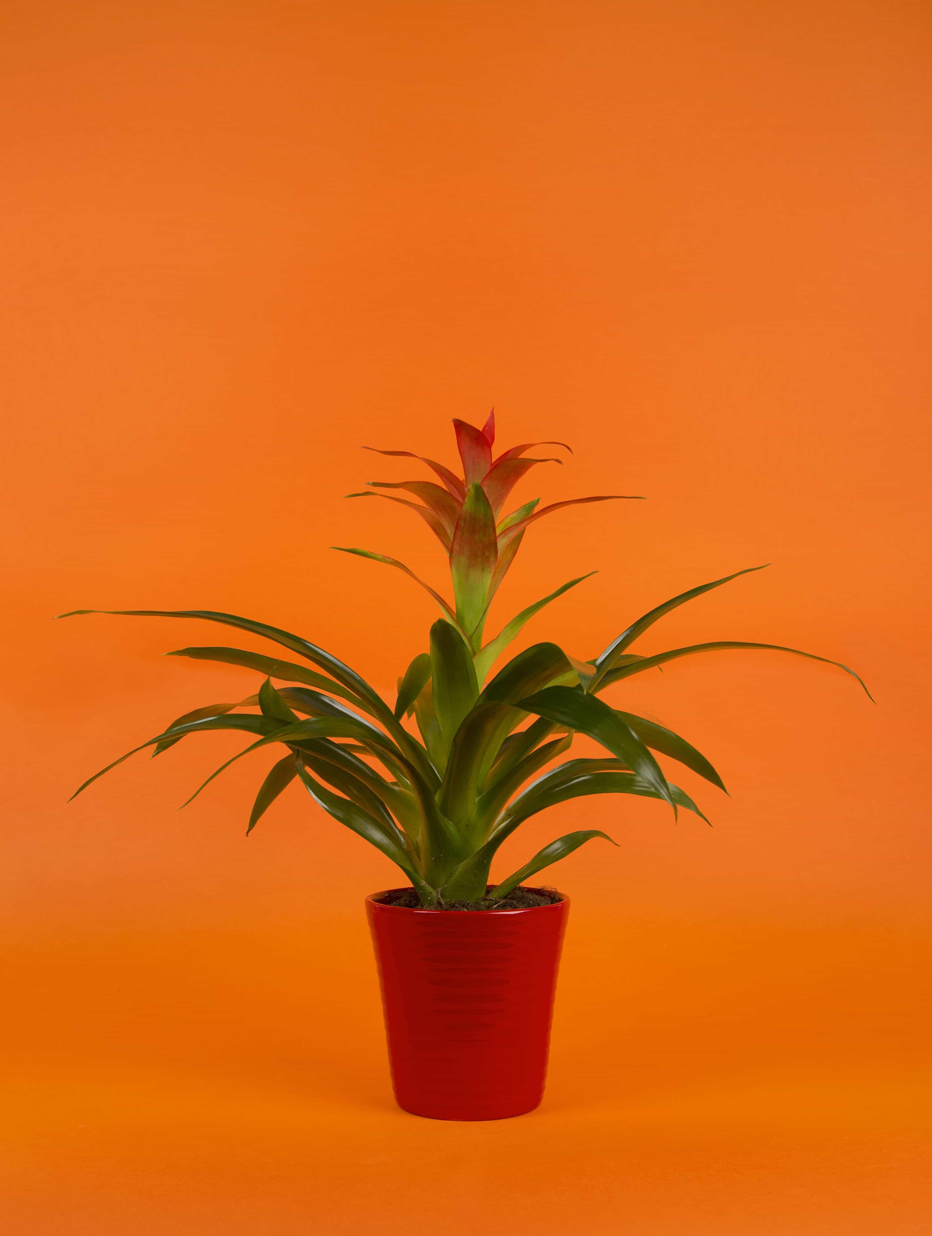 Guzmania - Plante facile d'entretien