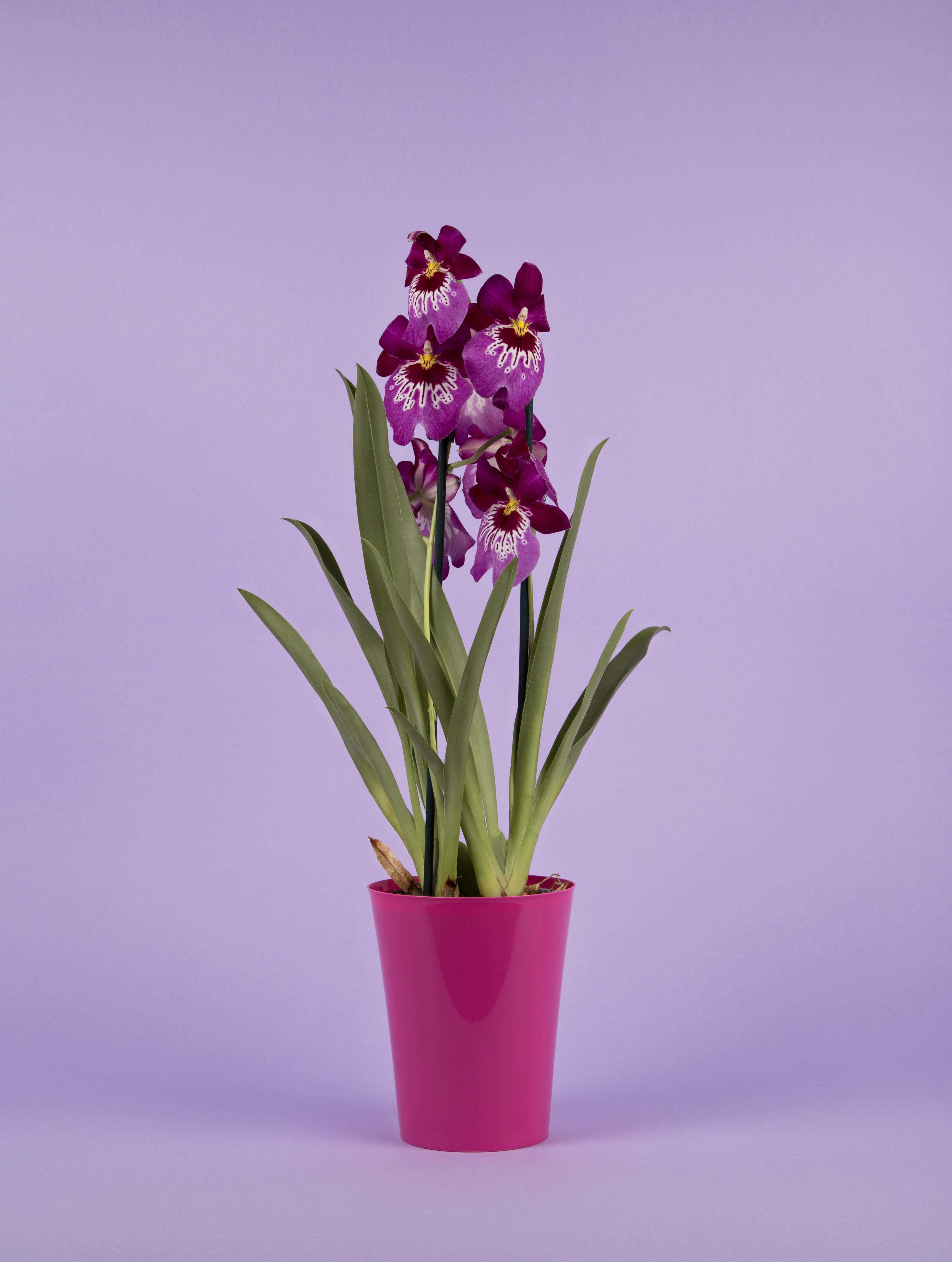 Miltonia - orchidée originale