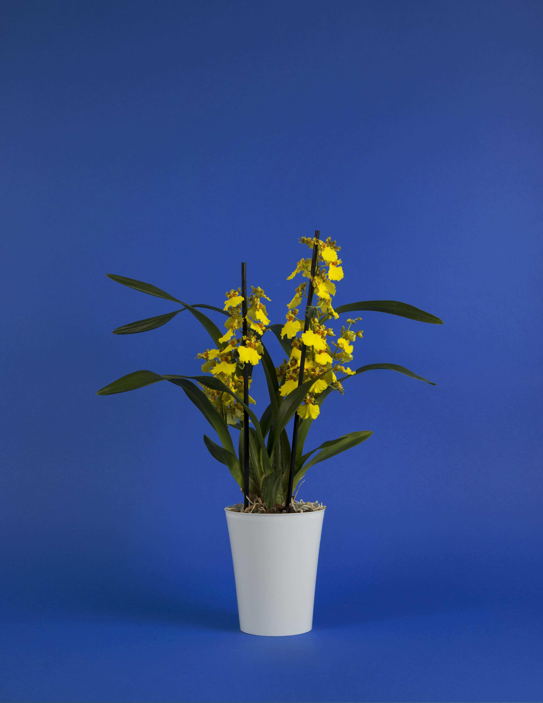 Oncidium - orchidée jaune
