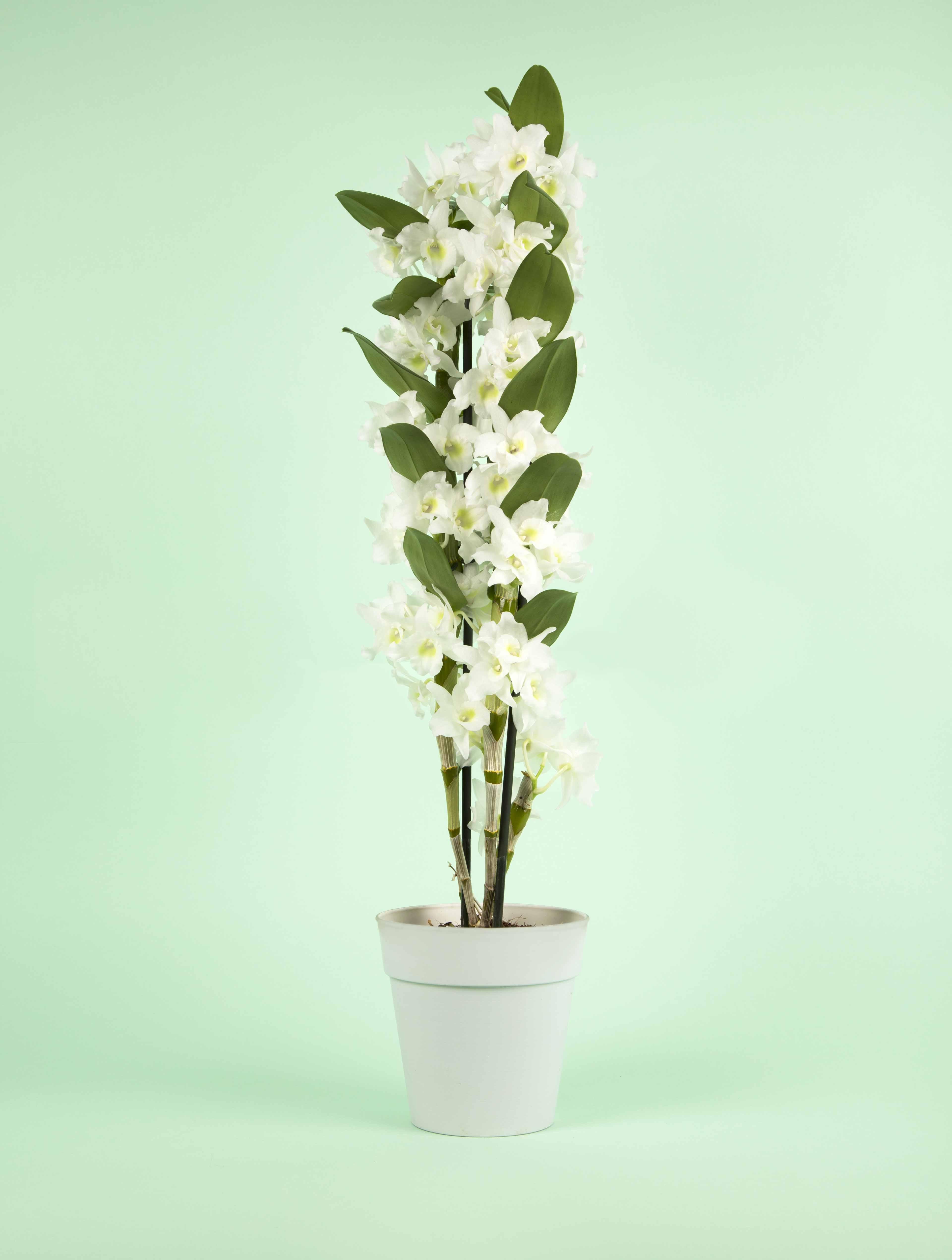 Orchidées blanches - Dendrobium