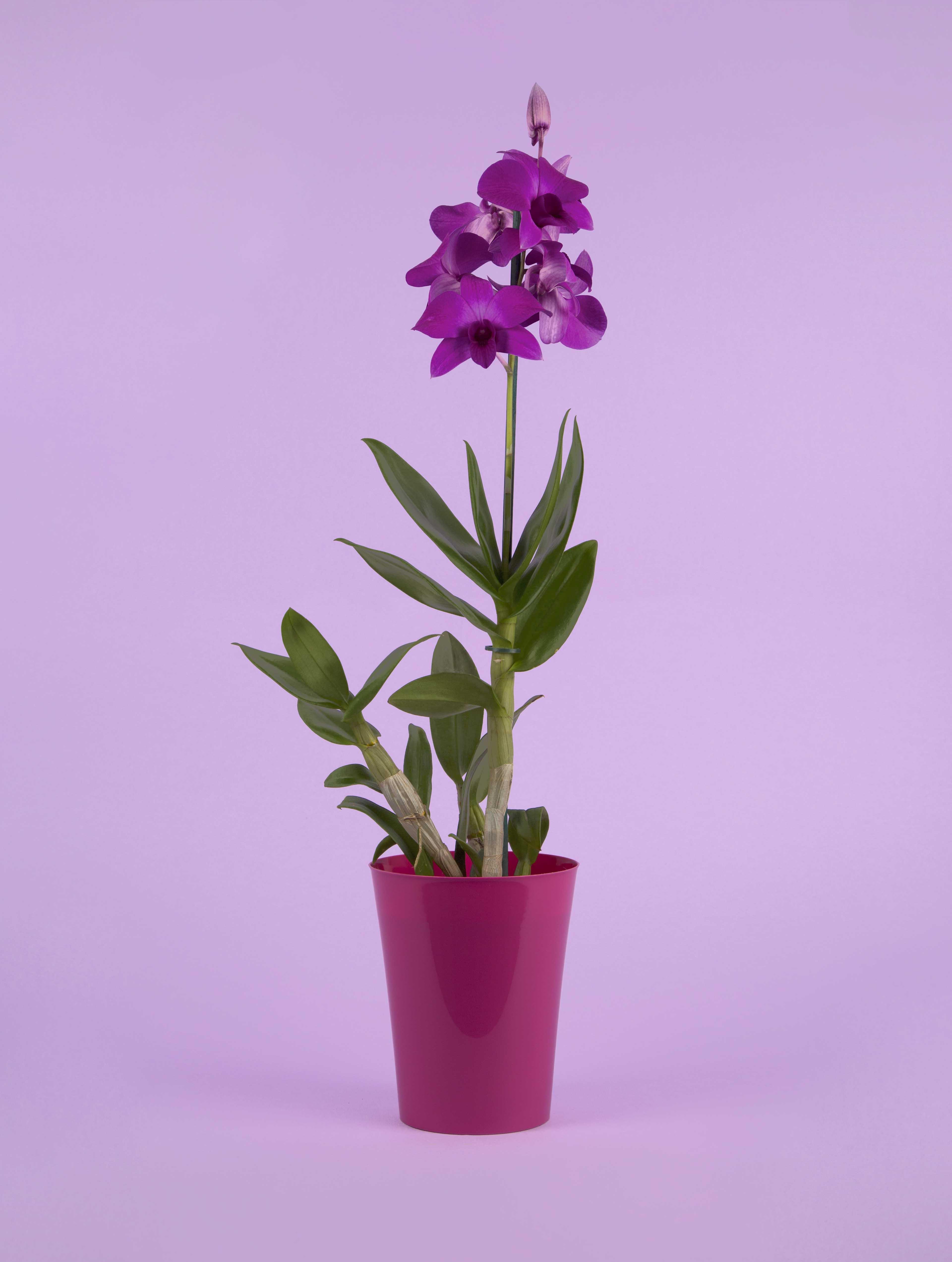 Dendrobium Phalaenopsis - orchidée violette