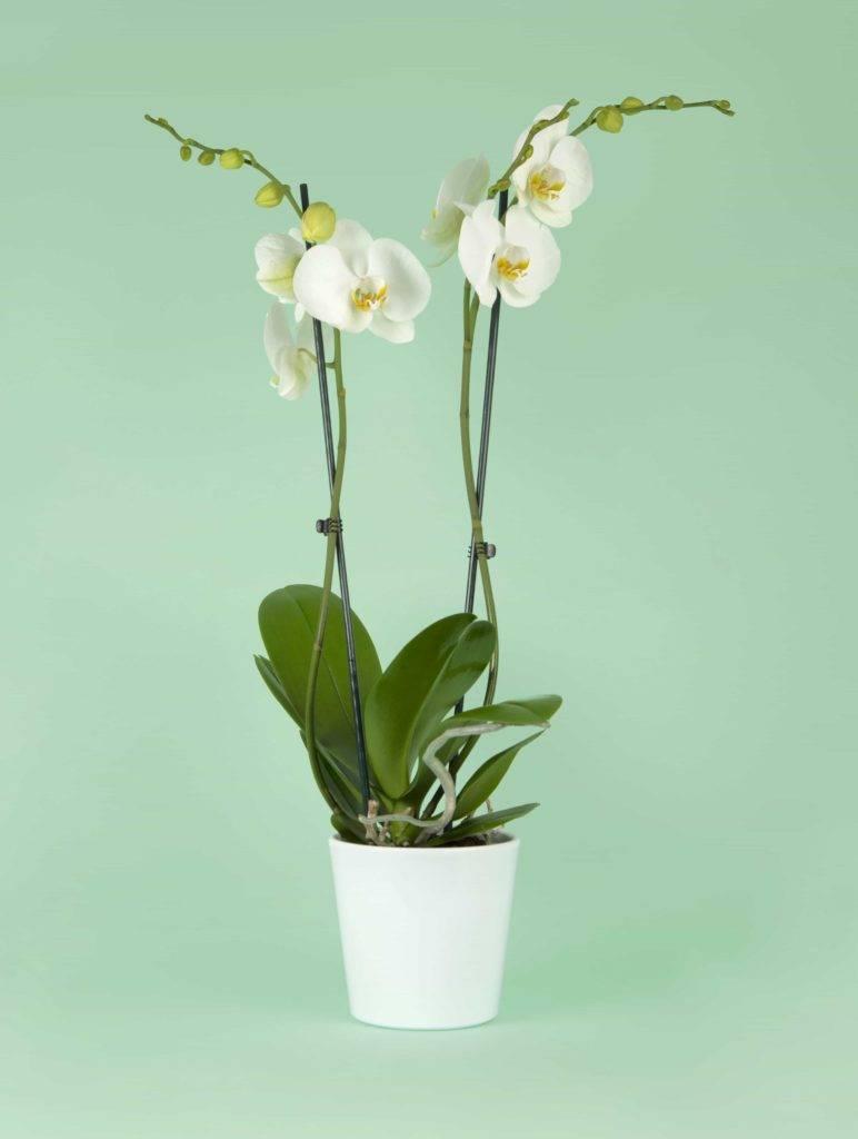 Orchidée phalaenopsis blanche