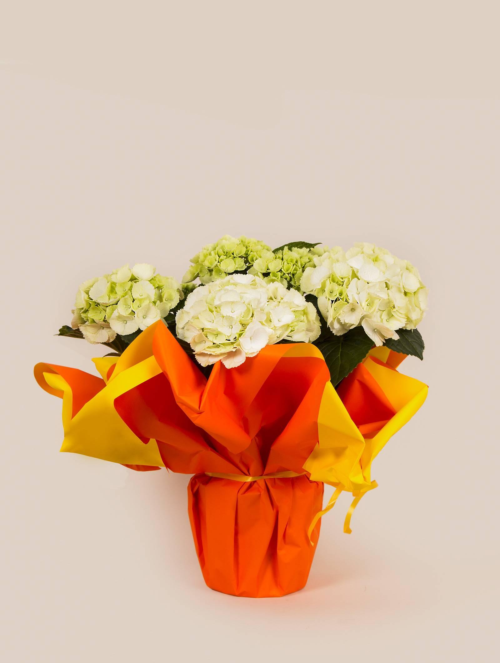 plante hortensia par kokomo