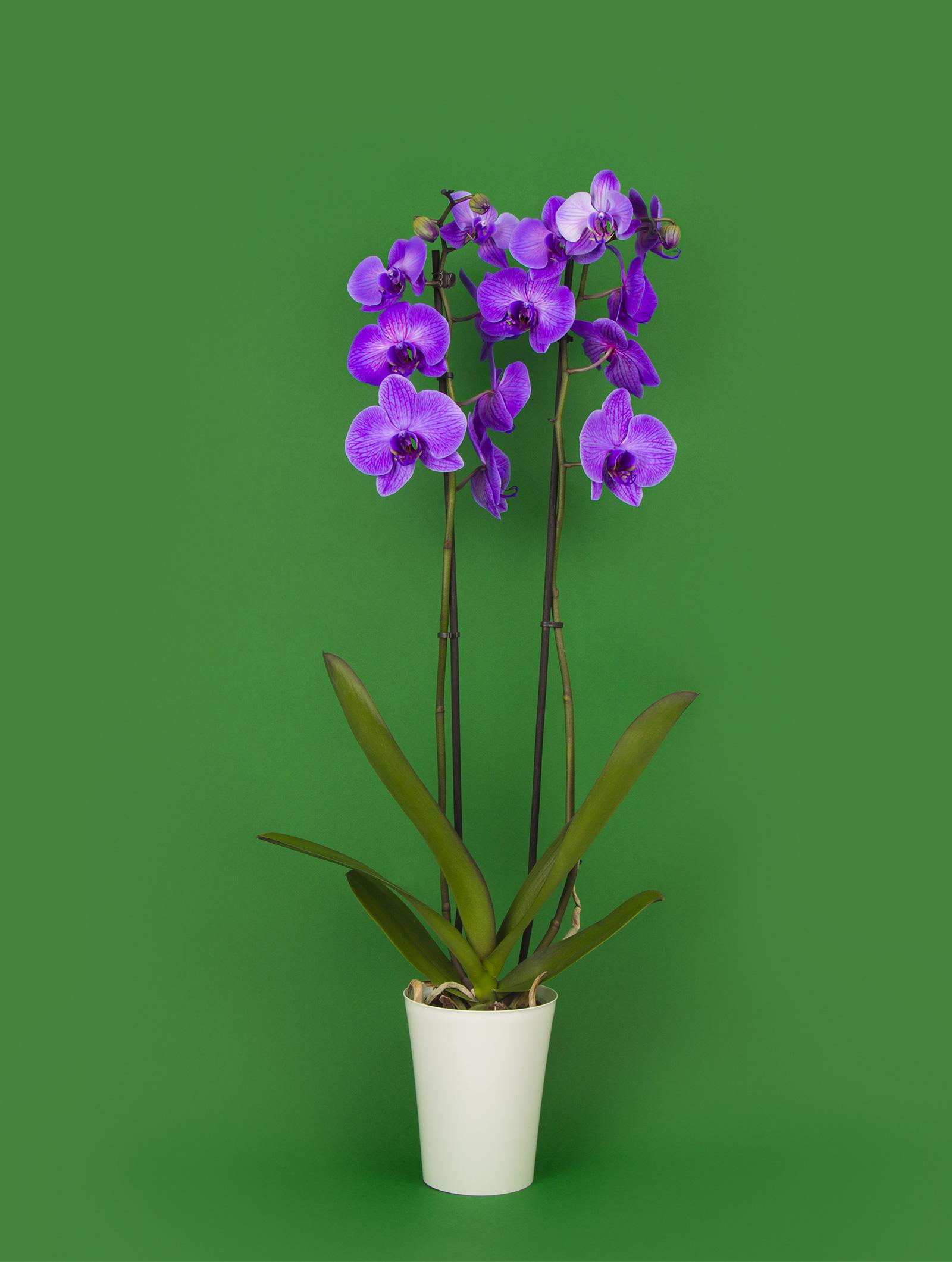 orchidée aux fleurs violettes