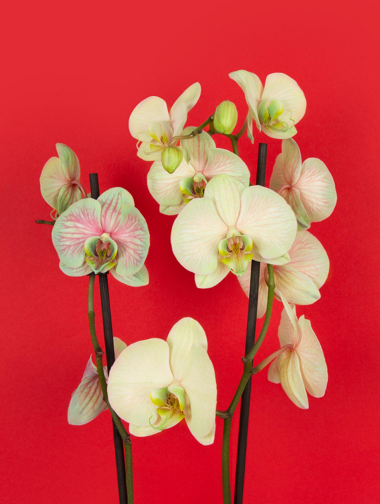 zoom fleur kokomo