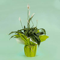 spathiphyllum kokomo livraison de plantes
