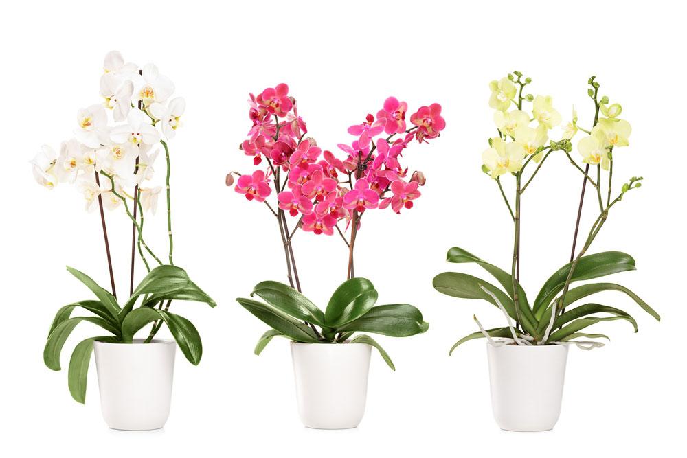 3 orchidées fleuries