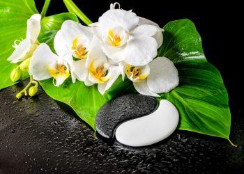 Phalaenopsis : orchidée papillon