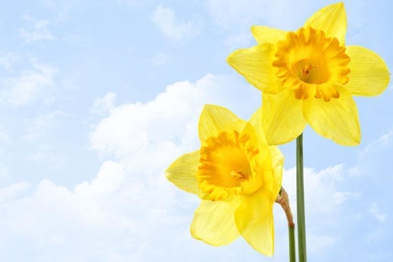 narcisse jaune : fleur de printemps
