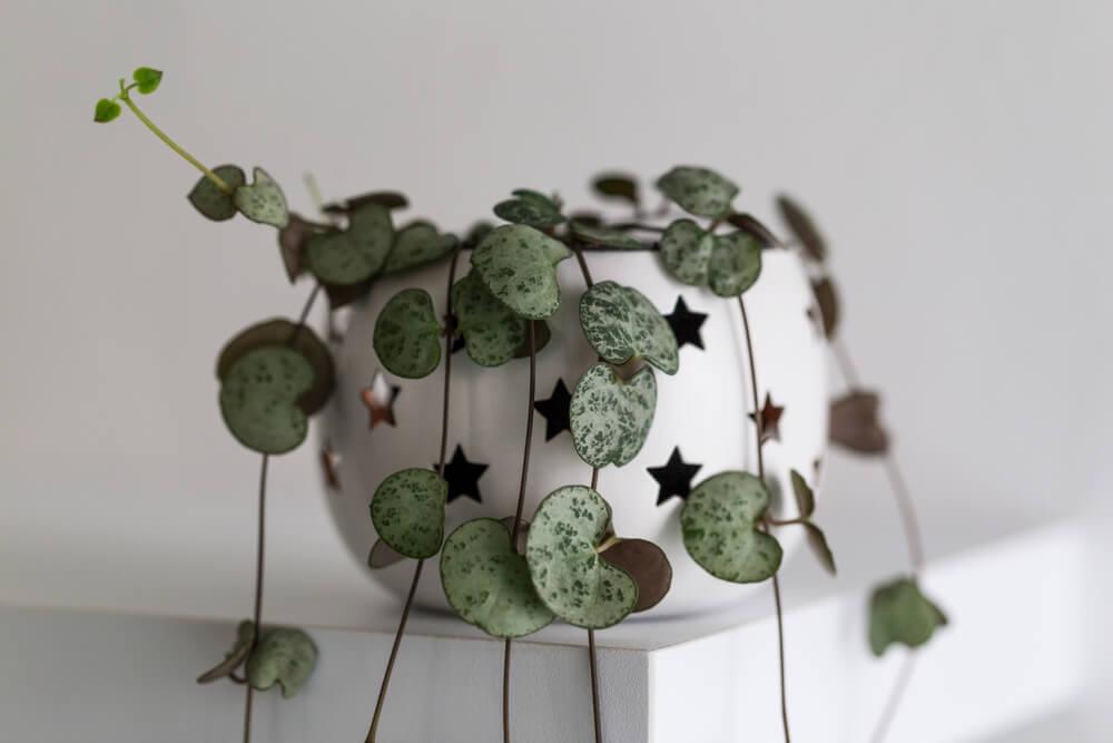 plantes d'intérieur ceropegia woodii