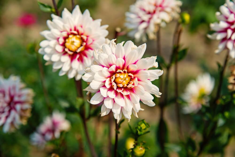 fleurs d'automne : le dahlia
